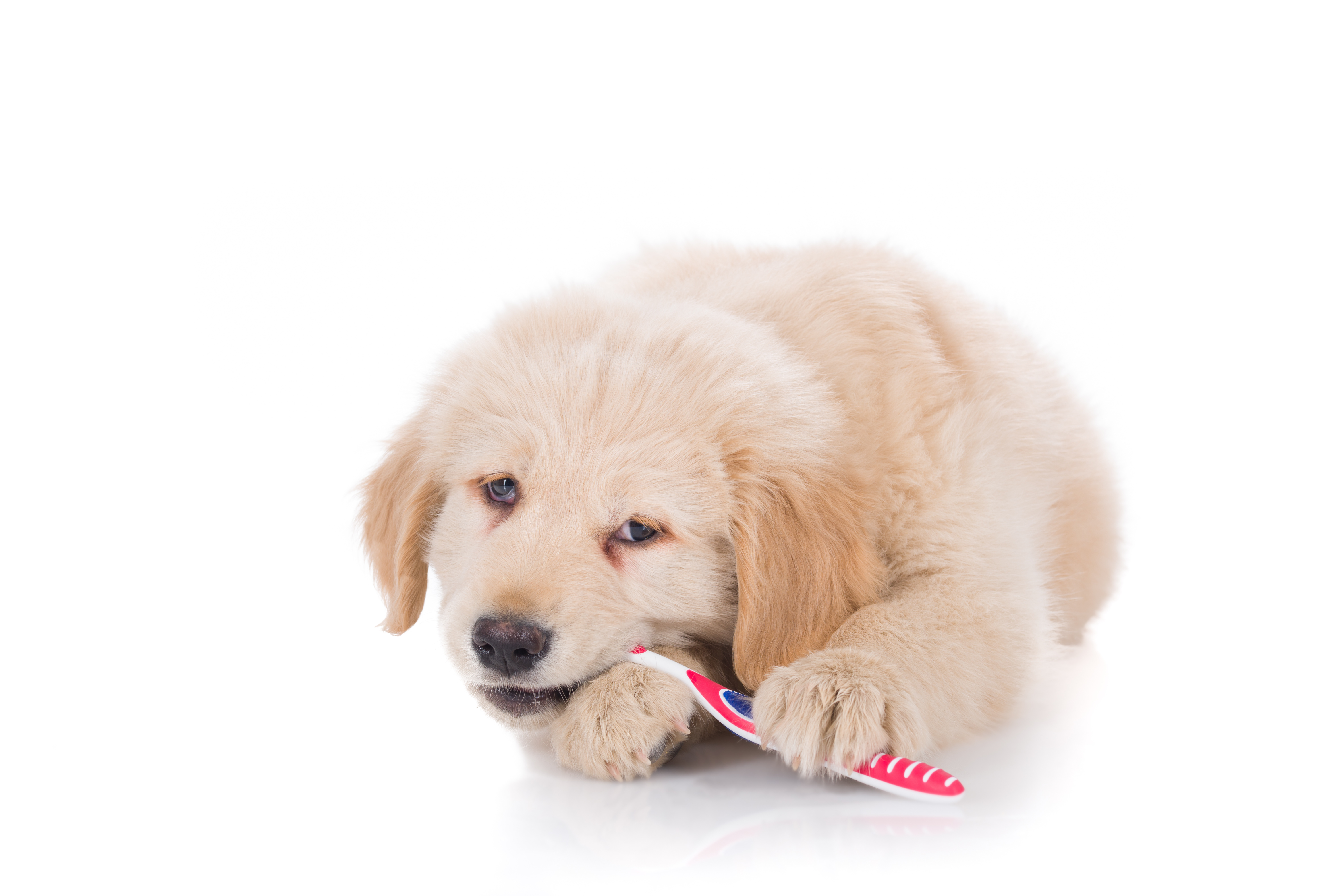 puppy dog teeth cleaning vet clinic nc