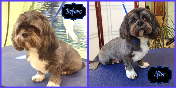 Milo Before & After Pet Grooming