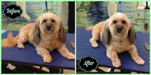 Sandy Before & After pet grooming