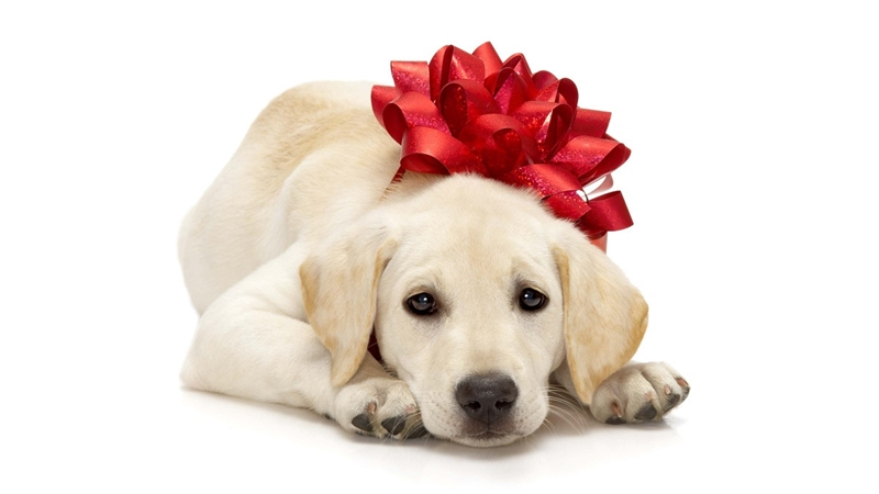 dog gift pet holidays present chapel hill