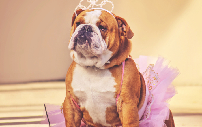 an English bulldog dressed up in a tutu and tiara